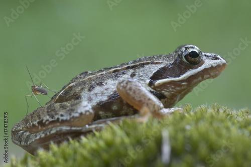 Photo Moor frog (Rana arvalis), Emsland, Germany, Europe