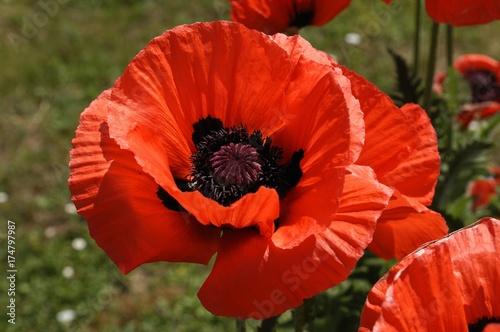 Oriental poppy (Papaver orientale), flowering - 174797987