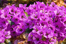 Purple Bougainvillea - Ornamental Vine With Flower-like Leaves - On A Sunny Autumn Day