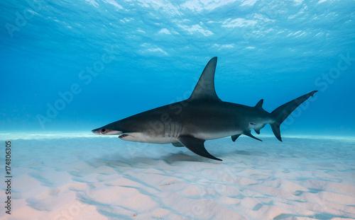 Obraz na dibondzie (fotoboard) Wielki hammerhead rekin podwodny widok Bimini, Bahamas.