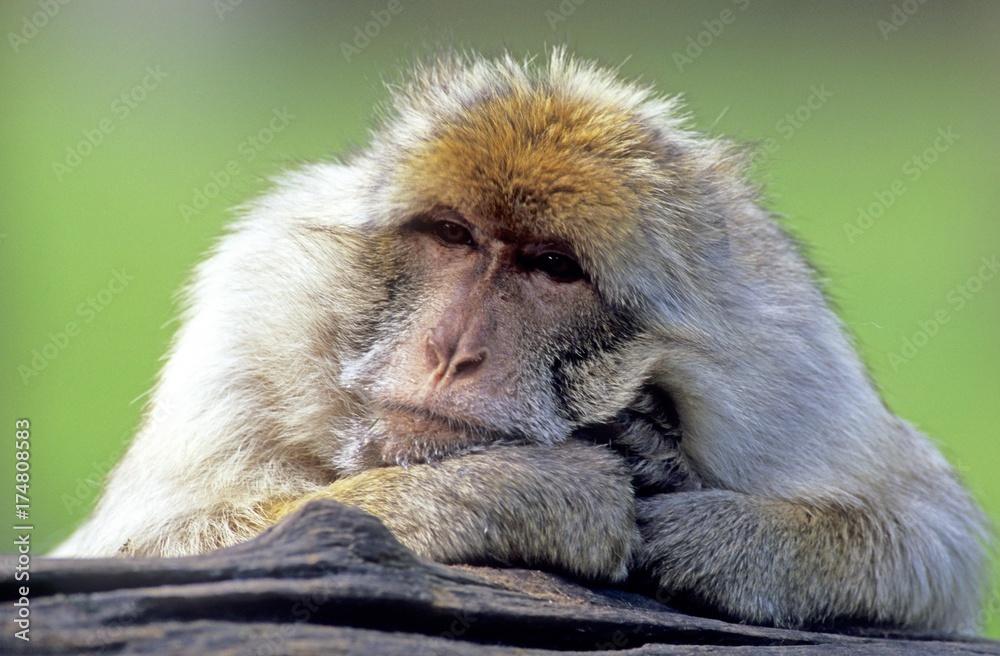 Barbary Macaque (Macaca sylvanus) Plakát