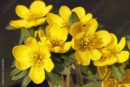 Small Winter aconite (Eranthis hyemalis), Winter aconites, blossoms, close-up Canvas Print