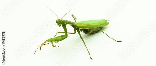 Obraz na plátně  Praying mantis