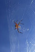 Wasp Spider (Argiope Bruennichi) In Spiderweb Against Blue Sky
