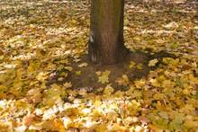 Maple Leaves (Acer Platanoides...