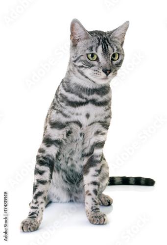 Plakat Kot bengalski w studio