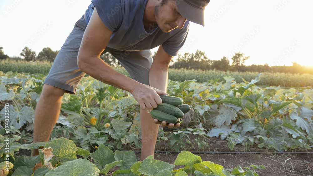 Fototapety, obrazy: Young male farmer picking cucumber at organic eco farm
