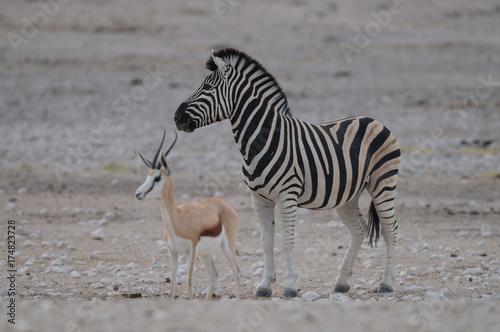 Zdjęcie XXL Zebry stepowe ze Sprinbuckiem, Burchell's Zebra, Etosha National Park, Namibia, (Equus burchelli)