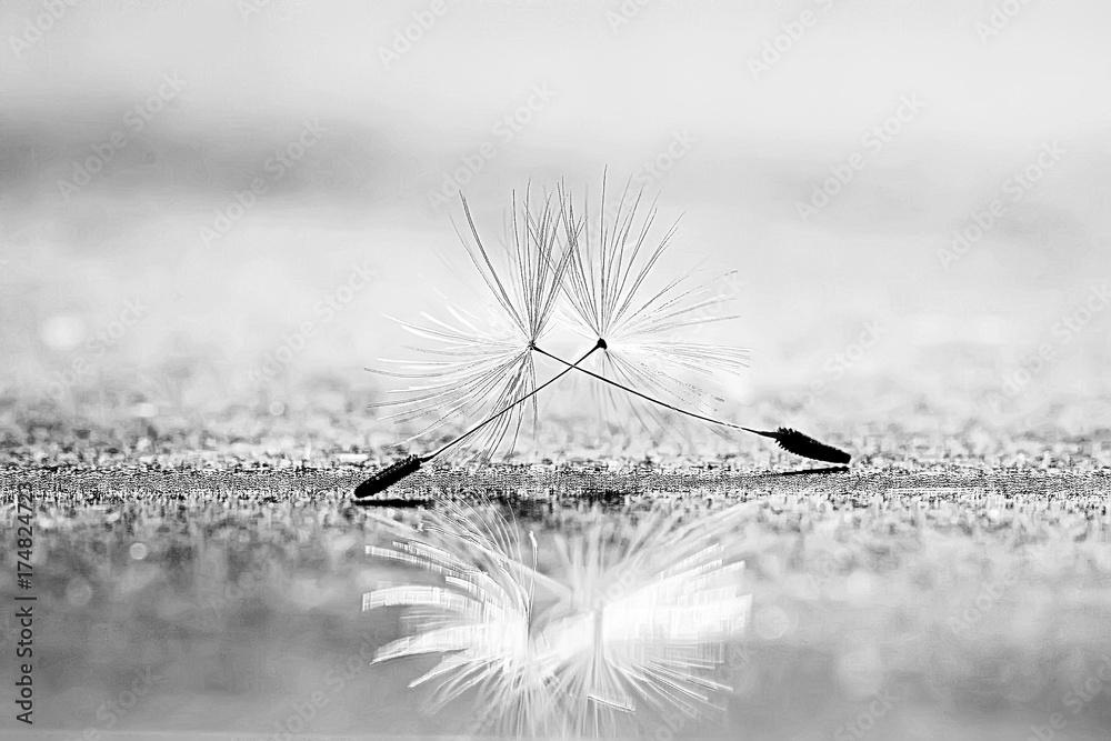 Fototapety, obrazy: dandelion seeds black background concept lightness