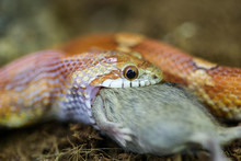 Snake Eating A Mouse Closeup