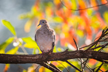 Mourning Dove Perched On A Bra...