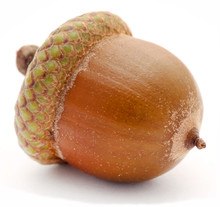 Closeup Of Acorn