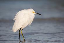 Snowy Egret (Egretta Thula), Estero Lagoon, Florida