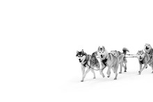 Sled Dogs In Harness. Northern...