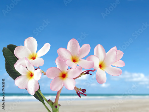 Keuken foto achterwand Frangipani close-up pink plumeria or frangipani flowers blooming with sand beach and bright blue sky background, colorful tropical flowers are fragrant and bloom in summer, beautiful nature background