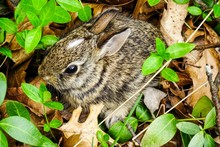 Baby Cottontail Rabbit Hiding ...