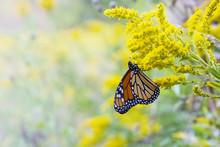 Monarch Butterfly Sipping Nectar
