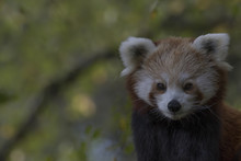Red Panda Behaviour, Scratching, Yawning, Ailurus Fulgens