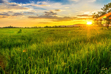 Landscape Of Cornfield And Green Field With Sunset On The Farm, Green Cornfield And Beautiful Blue Sky At Local-city