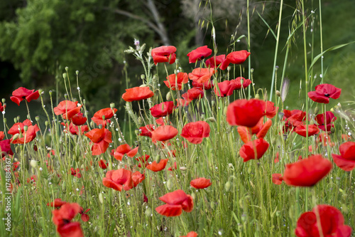 Plakat kwiaty maku