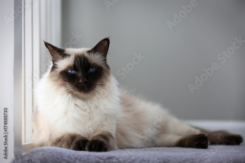 Photo Portrait of an apple-headed chocolate balinese cat.
