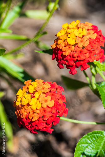 Macro Closeup Of Two Red And Yellow Lantana Flower Plants Showing