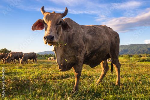 Cuadros en Lienzo Beef Cow in Farm