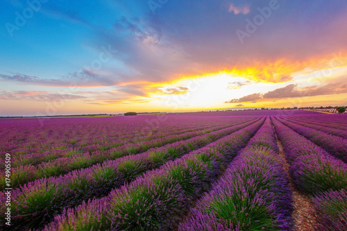 Poster Crimson mottled green and purple rows of lavender field on a background of bright beams of sunset, looking out from behind the clouds