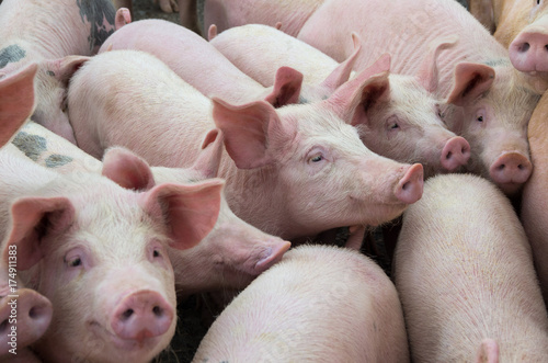 Fotografía  Livestock breeding. The farm pigs.