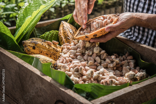 Fotomural  Cocoa Beans and Cocoa Fruits.