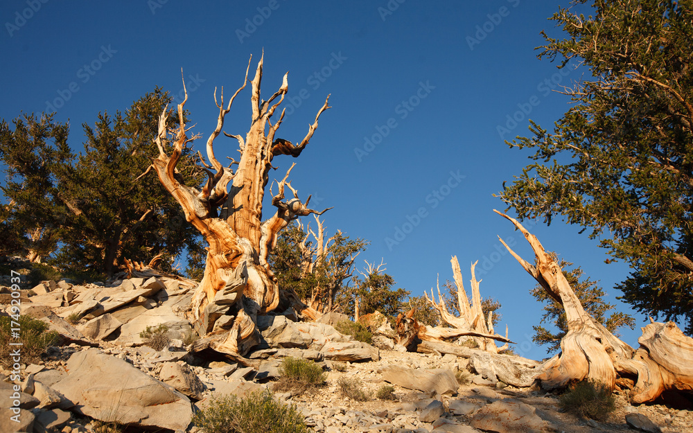 Bristlecone Pine in Methuselah Grove