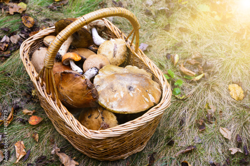 Wicker basket full of various edible kinds of mushrooms in a autumn forest Wallpaper Mural