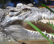 Crocodile Closeup Showing Teet...