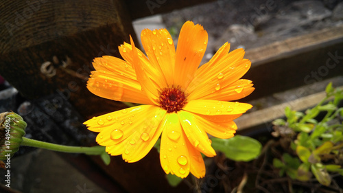 Photo  Common Marigold