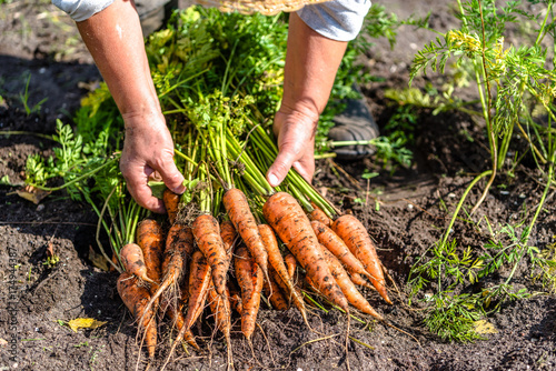 Cuadros en Lienzo Farmer holding a carrots from the soil, vegetables from local farming, organic p