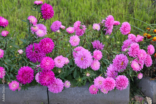 Poster de jardin Dahlia flowerbed with asters of pink and lilac shades