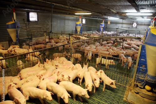 Fotografie, Obraz  Cute newborn piglets living on an industrial animal farm