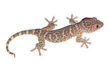 Gecko Isolated On White With C...