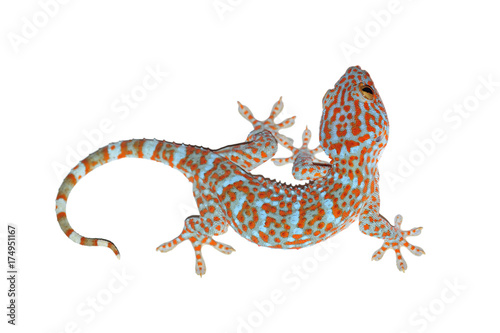 gecko isolated on white with clipping path