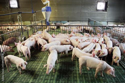 Fotografie, Obraz  Little pigs household on rural animal farm