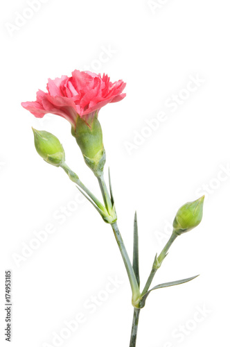 Garden Poster Iris Pink carnation flower