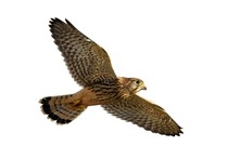 Common Kestrel In Flight Isolated On White Background. Falco Tinnunculus