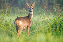 Wild Female Roe Deer In A Field, Looking At The Camera