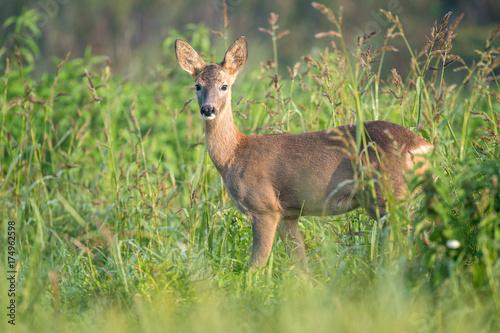Foto op Plexiglas Ree Young roe deer in a field