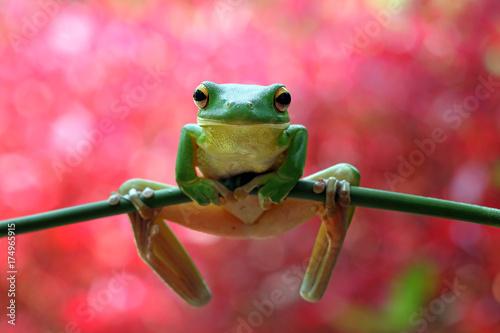 Zdjęcie XXL Drzewna żaba na gałąź, zbliżenie żaba