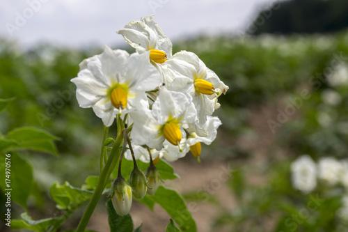 Fotografie, Obraz  Solanum tuberosum in bloom, potatoes blooming plant