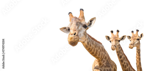 Poster Giraffe lovely giraffe head isolated on white