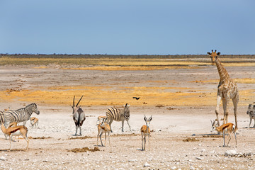 panorama of Etoha with Giraffe, Oryx, Zebra and springbok with a clear blue sky
