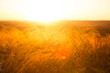 Beautiful landscape with autumn meadow. Dry autumn yellow grass over sunset or sunrise