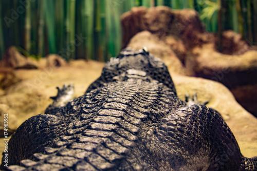 Back of the lying crocodile